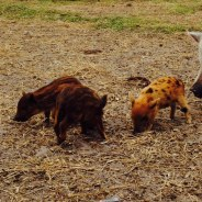The three little pigs!